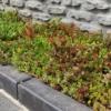 Kép 3/3 - Sedum szőnyeg GreenTech